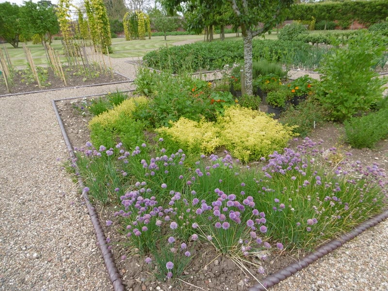 Chive plants grow to be 12 to 24 inches tall and may spread a foot across.