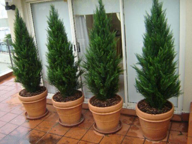 Evergreen conifers make an excellent privacy screen due to their dense foliage