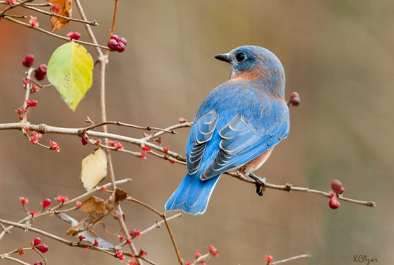 Bluebirds eat grasshoppers, crickets, beetles, pest larvae, and moths.
