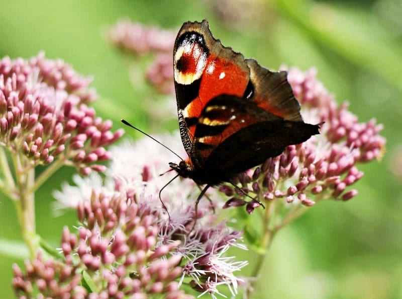 Growing a range of nectar-rich plants will bring local butterflies to your garden.