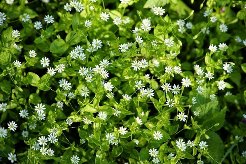 Chickweed is one of the few weeds that can match baby lettuce in its tenderness and neutral flavor
