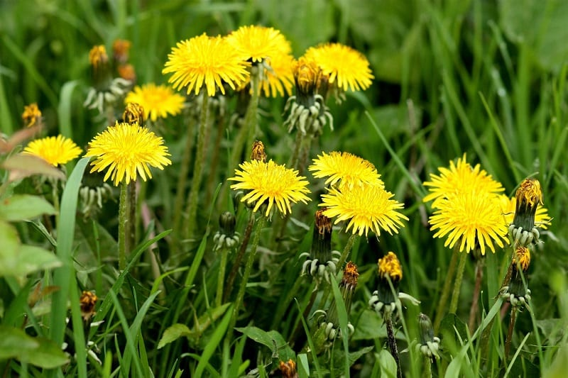 The leaves, roots, and even the flowers of the dandelion can be used for food and medicine.