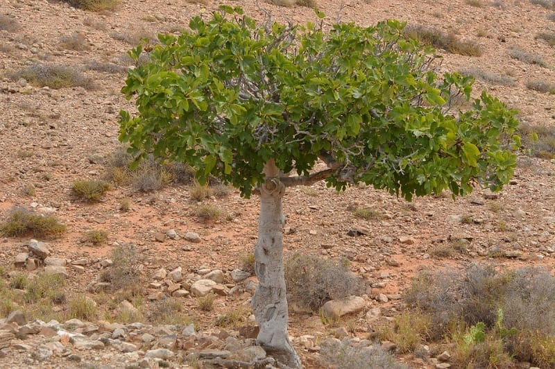 In many ways, our ancestral reverence for the fig tree has not only influenced human culture, but also enriched it.