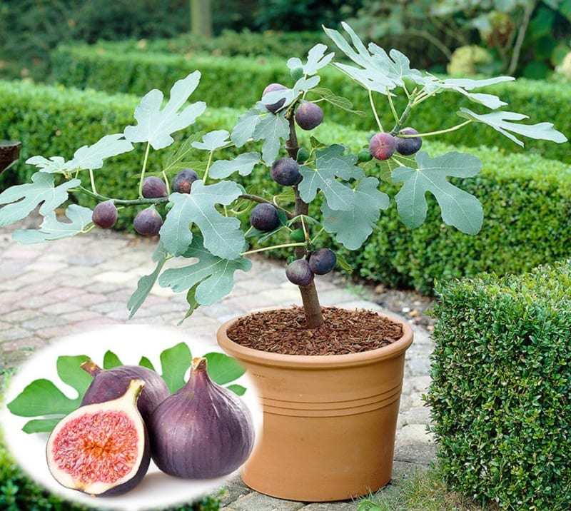 If you live in a region that sees cold winters, it would be best to plant figs in outdoor containers in early spring or late fall.