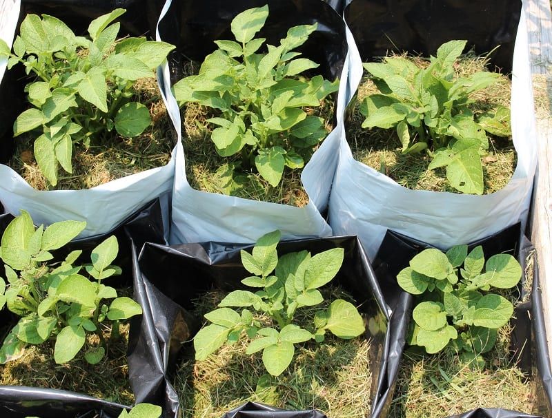 The hilling process keeps your potatoes under the soil, protected from exposure to light.
