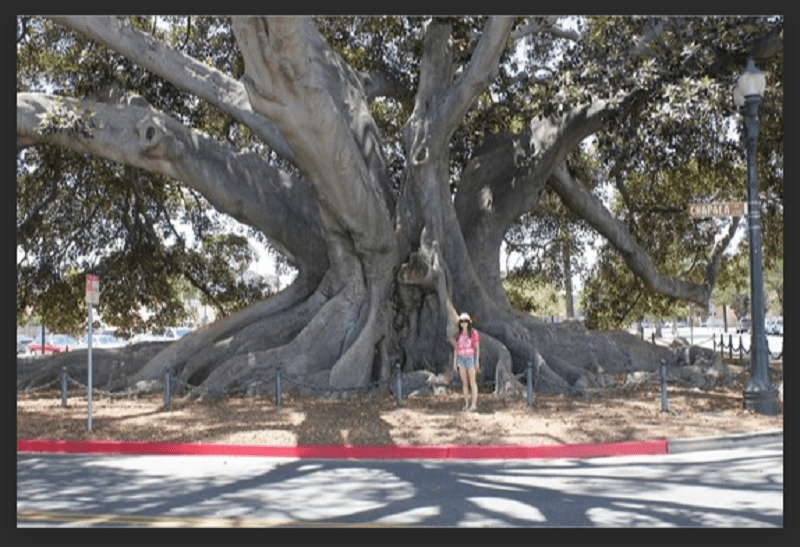 The genus Ficus encompasses both the spectacularly massive Moreton Bay Fig (above) and the lovely Mini Lucie.
