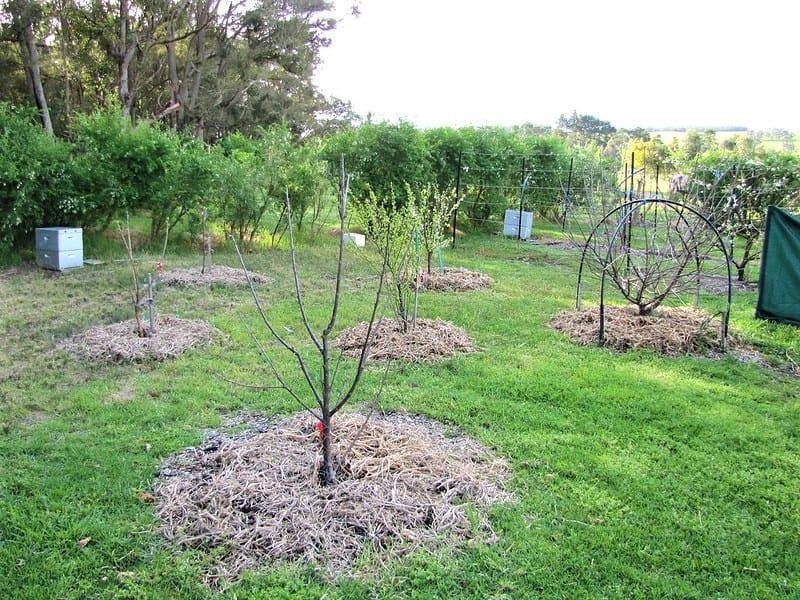 Because you will be training your trees to a small size, you will need not need 30 feet – or even 10 – between each tree.