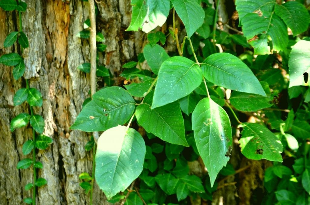 How to Remove Poison Ivy from Your Garden