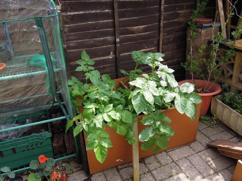 Caring for your potato plants is simply a matter of ensuring them adequate sunshine and water.
