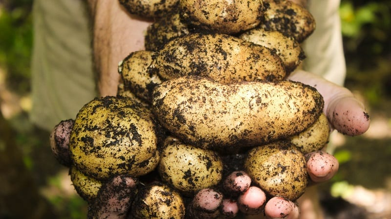 The potato is another root vegetable that flourishes in sandy soil.
