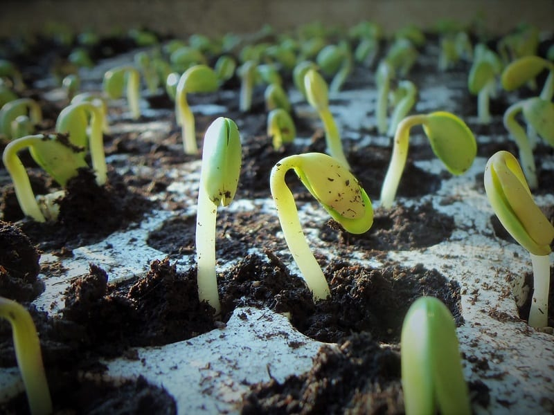Coaxing young plants from seeds has practical benefits