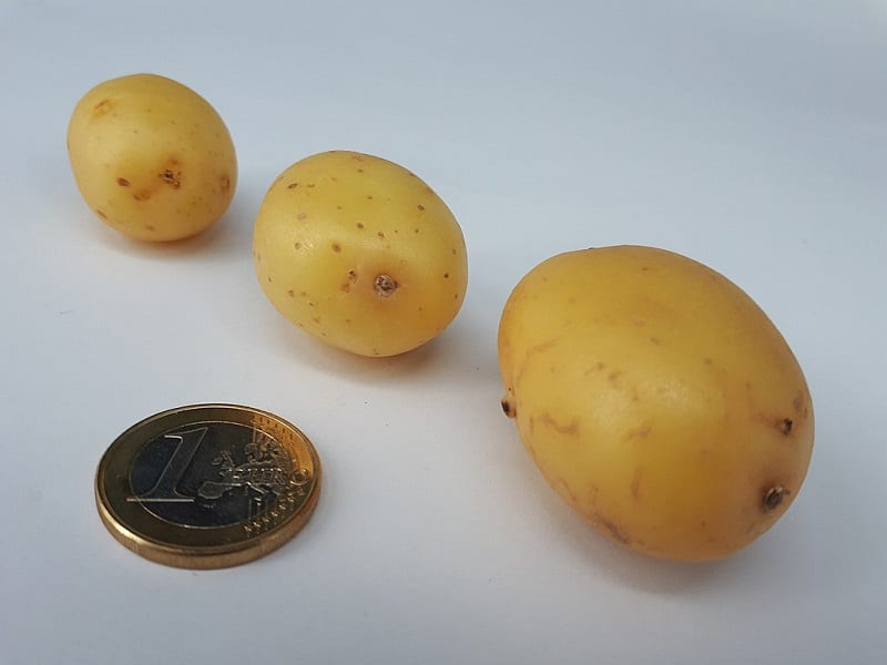 If your potatoes are about two inches or less in diameter, you can plant them whole.
