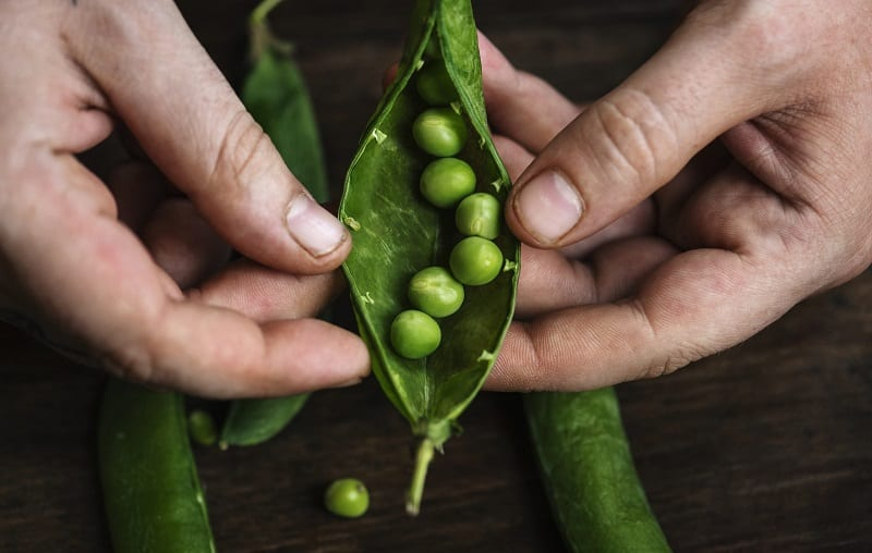 Most sugar snap varieties will sprout within 10 days.