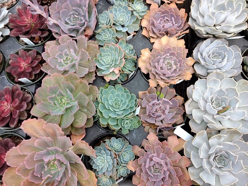 You should water indoor succulents every ten to fourteen days during the active growing season.