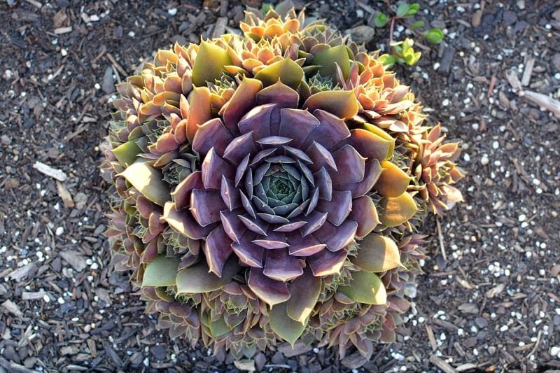 Watering requirements for succulents in the ground depend on several factors such as the growing season, temperature, and climate.