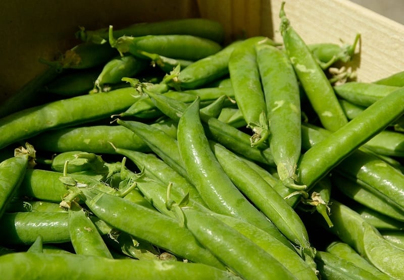 Experienced gardeners will tell you a crop of sugar snap peas is an excellent way to start your own edible garden.