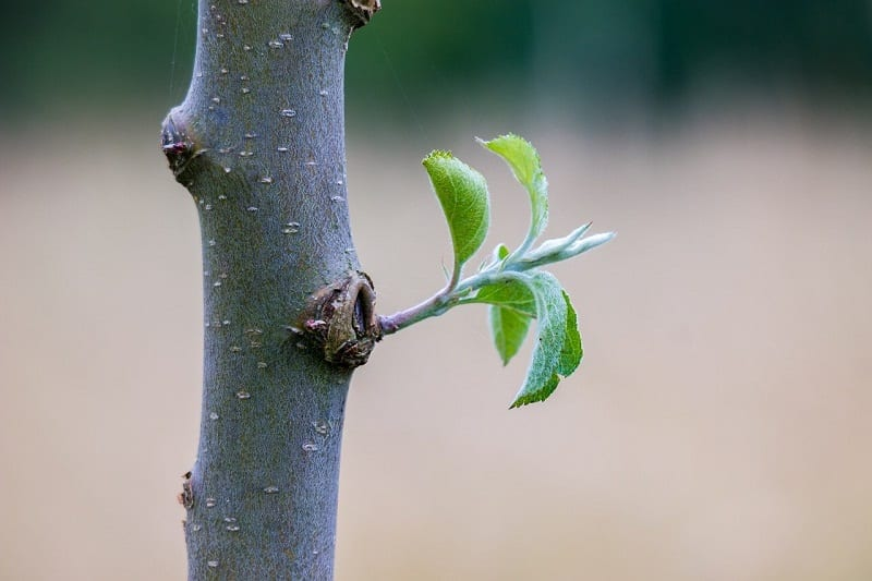 Pruning a tree for small size can be tricky, especially if you are dealing with a bare-root whip that is already 4 to 5 feet tall.