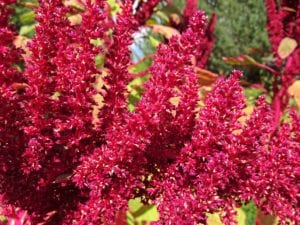 Growing Amaranth for Edible Greens
