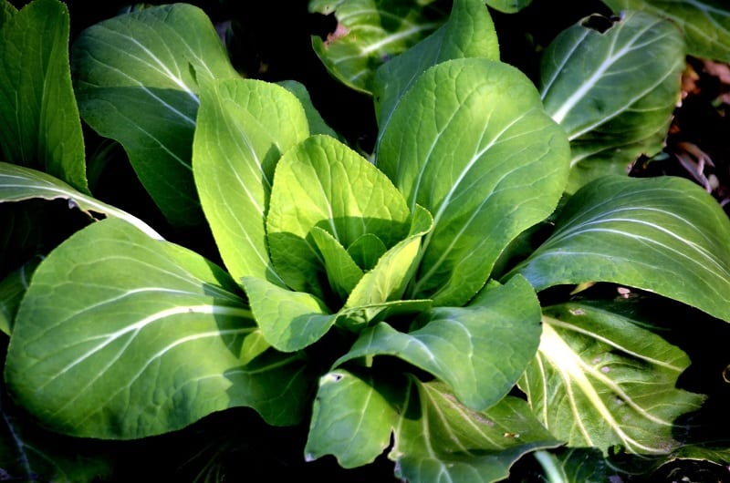 Bok choy leaves are smooth and tender with a flavor akin to that of cabbage and chard.