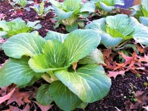 How to Grow Bok Choy from Seed in Your Backyard