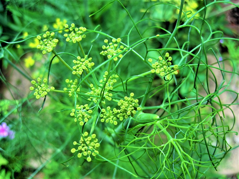 Dry soil is likely to encourage bulb fennel to flower early at the expense of juicy bulbs.
