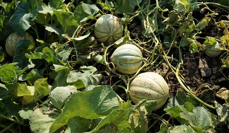 Dry weather produces the sweetest melons.