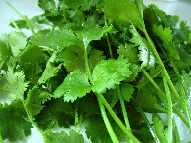 You can begin harvesting coriander leaves once the plants are grown and well-established.