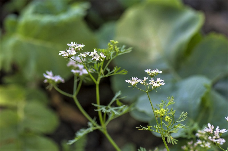 Unlike plants grown for leaves, you should allow coriander plants grown for seed to flower.