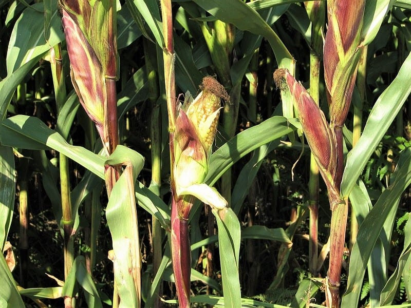 Good vegetable gardening practices are by far the best defense against pest and disease in the corn patch.