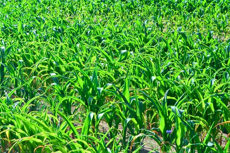 Side-dress your corn patch with bone meal or fish-based fertilizer once the plants are 6 inches tall.
