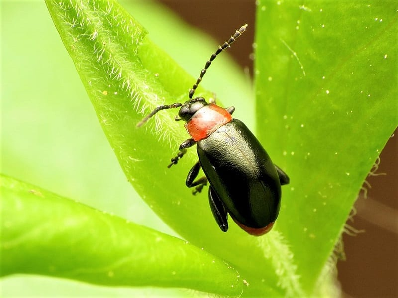Flea beetles are the eggplant's worst pest.