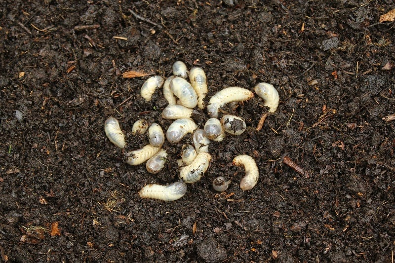 Grubs attract rats and other rodents like gophers and moles.