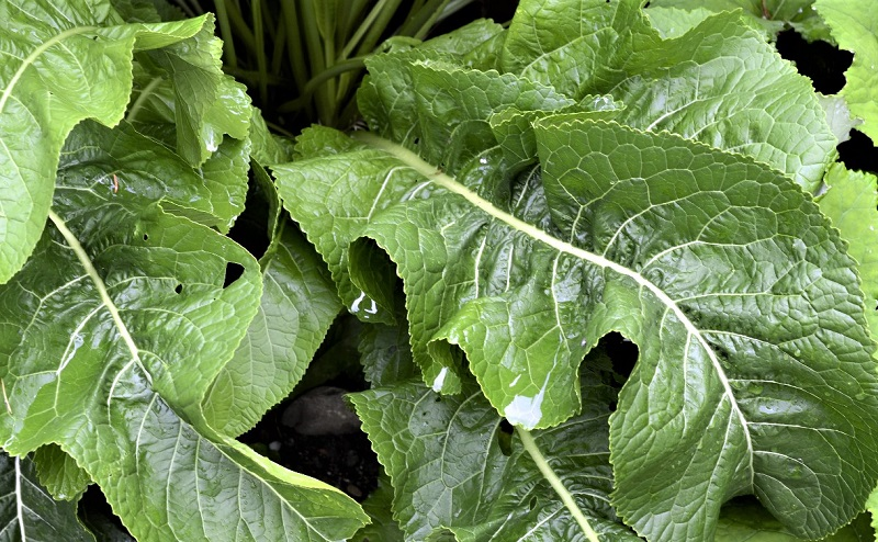 Horseradish is among the easiest edible plants you can grow.