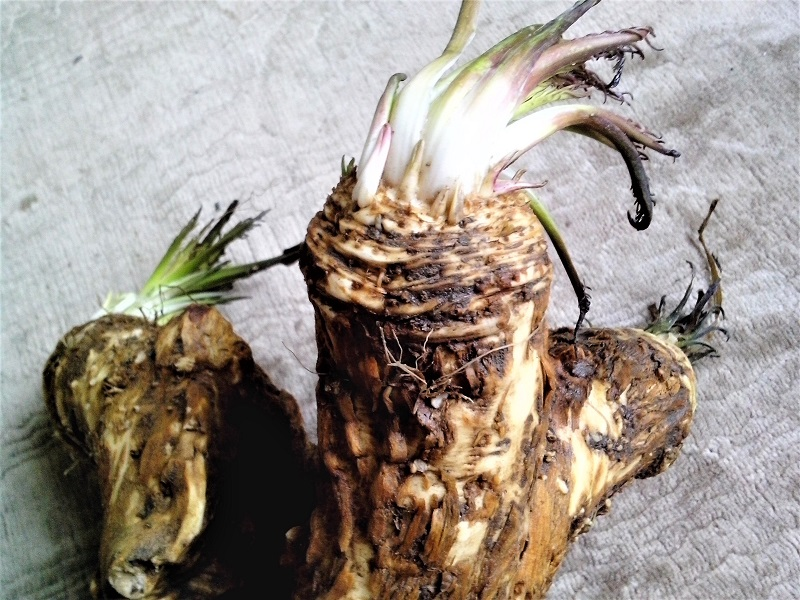 Do not overwater horseradish plants else the roots will turn soft and bitter.