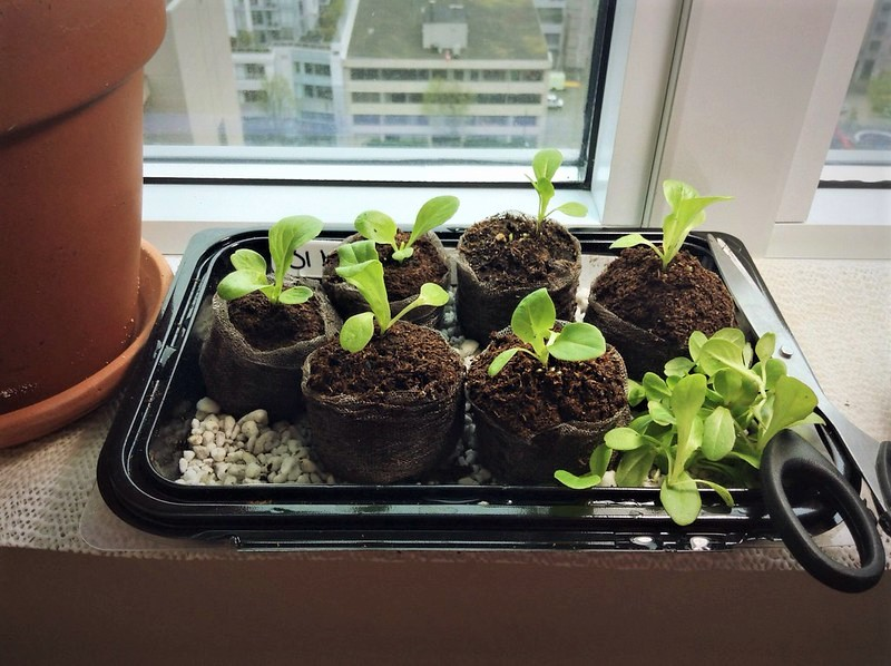 Bring any vegetable seedlings you started indoors out into the open sunlight.