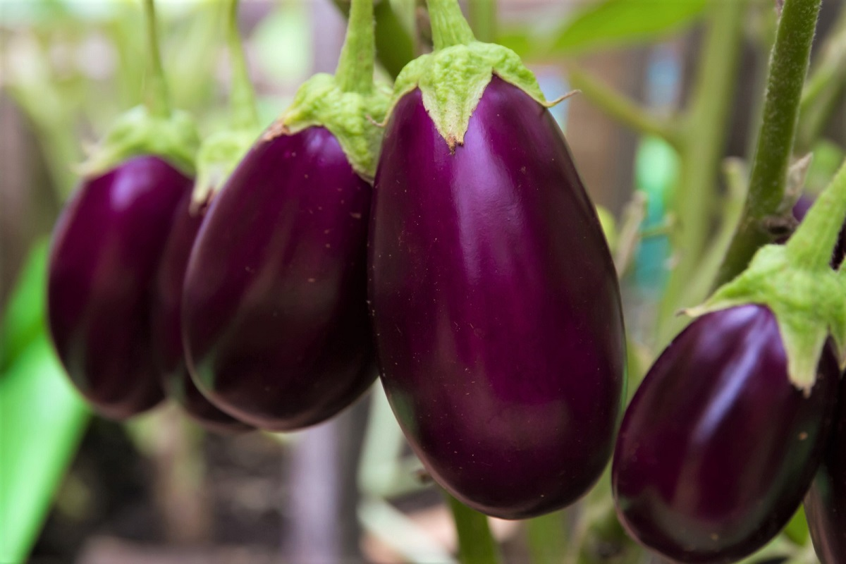 How to Grow Eggplants from Seed to Harvest