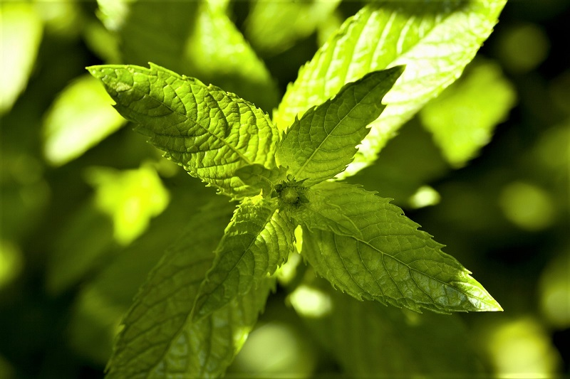 Mint dies back over winter, but you can pick the leaves between late spring and mid-autumn.