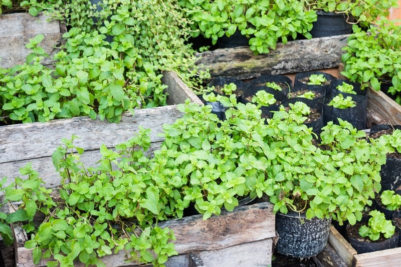 Most rats and mice are especially averse to the smell of mint.