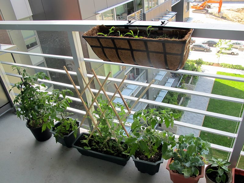 You can train vines to climb on trellises, a low fence, or even balustrades.