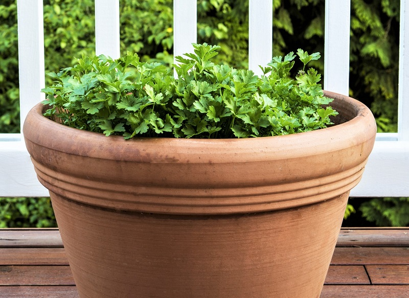 You can harvest parsley as needed, cutting the stems at the base so that new leaves grow back quickly.
