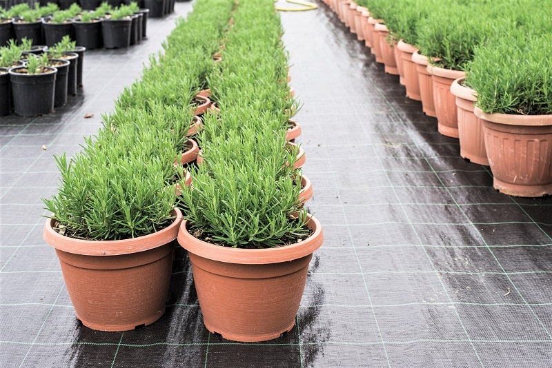 Your rosemary plant will constantly remind you how much it prefers the winter conditions of the Mediterranean over those of your apartment or patio.