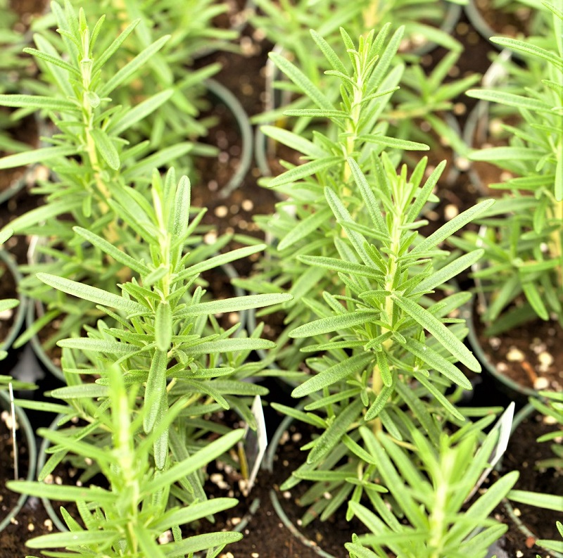 Rosemary requires potting soil that will not only provide adequate nutrition, but also excellent drainage.