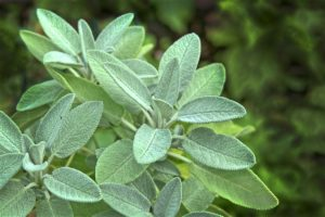 Grow Sage in a Container