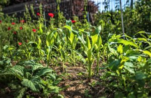 Succession Cropping to Get More out of Your Garden