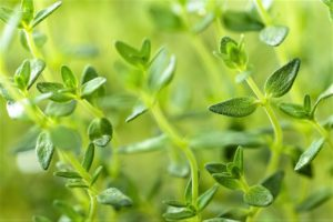 All About Growing Thyme in the Garden