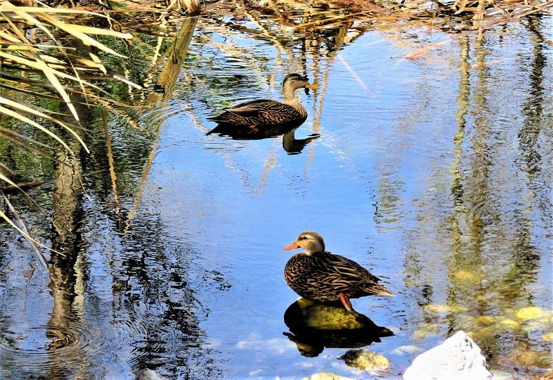 Dense vegetation on one side of the pond gives cover for visitng wildlife.