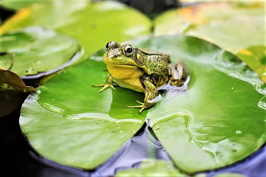 Frogs, toads, and newts will use even small bodies of water to breed.
