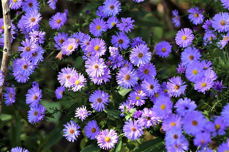 The purple-blue froth of wild asters are a familiar sight along dusty backroads, prairies, and salt marshes all over North America, southern Europe, Australia, and Asia.