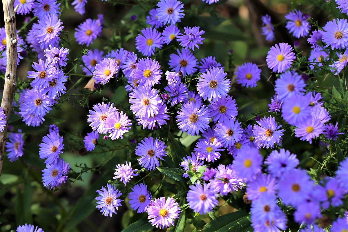 Grow Your Own Asters