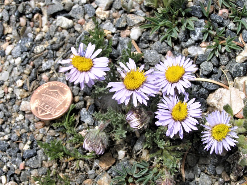 Given their recent prairie provenance, asters are a perfect addition to any wildlife garden.
